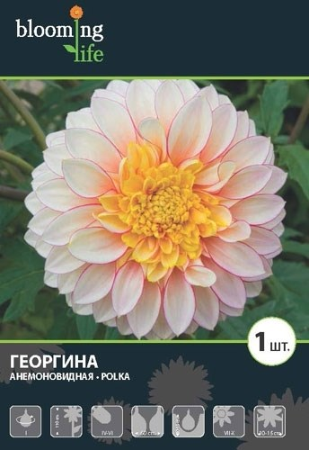 Георгина Анемоновидная Полька (1шт) - фото 42659