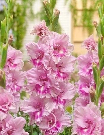 Гладиолус Крупноцветковый Кызыл (7шт) - фото 42777