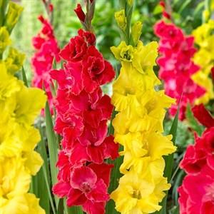 Гладиолус Красный и желтый (15шт)