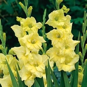 Гладиолус Крупноцветковый Ададжио (7шт)