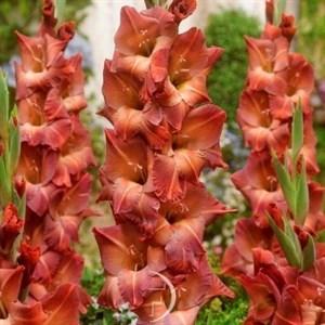 Гладиолус Крупноцветковый Апач (7шт)
