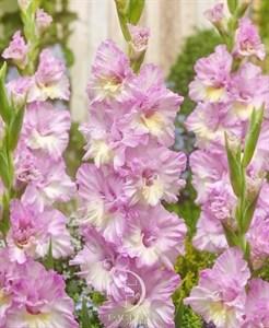 Гладиолус Крупноцветковый Владивосток (7шт)