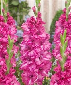 Гладиолус Крупноцветковый Грозный (7шт)