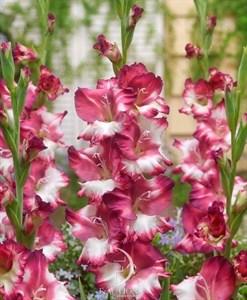 Гладиолус Крупноцветковый Кум Лауде (8шт)