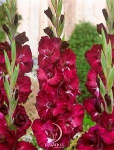 Гладиолус Крупноцветковый Кхалиси (7шт)