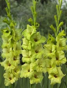 Гладиолус Крупноцветковый Мисс Грин (7шт)