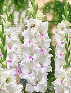 Гладиолус Крупноцветковый Норма Джин (7шт)