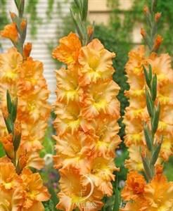 Гладиолус Крупноцветковый Пенза (7шт)