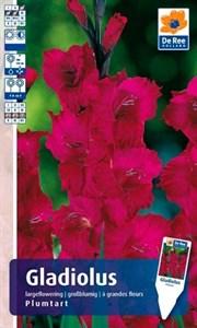 Гладиолус Крупноцветковый Плюмарт (7шт)