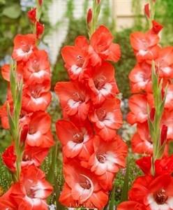 Гладиолус Крупноцветковый Притти Гай (7шт)