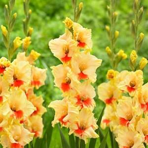 Гладиолус Крупноцветковый Сафари (7шт)