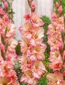 Гладиолус Крупноцветковый Спарклин Стар (8шт)