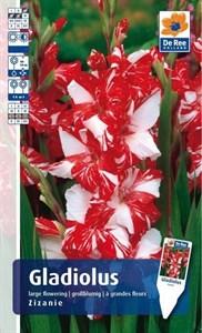 Гладиолус Крупноцветковый Зизани(8)