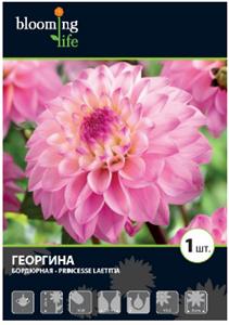 Георгина Бордюрная Принцесс Латита