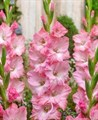 Гладиолус Крупноцветковый Бон Файд (7шт) - фото 42758
